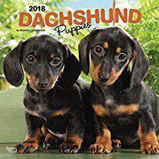 Dachshund Puppies 2018 Wall Calendar puppy photography, golden retriever puppy funny, housebreaking a puppy Best Puppies, Dachshund Puppies, Weiner Dogs, Dachshund Quotes, Dog Quotes, Cute Puppy Names, Dog Names, Puppy House, Wire Haired Dachshund