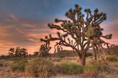 Joshua Trees - Bing images