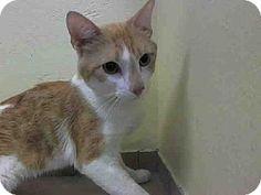 Brooklyn, NY - Domestic Shorthair. Meet TINO, a cat for adoption. http://www.adoptapet.com/pet/11206964-brooklyn-new-york-cat