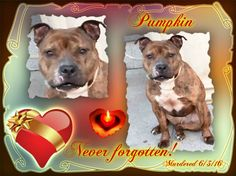 6/4/16 PUMPKIN LOVE!You poor wonderful sweetheart! I loved you at first sight! Your wonderful sweet face and your eyes speaking directly to my heart!How could they surrender you?How could nycacc kill you knowing your behaviour was due to fear and a broken heart?This is so rotten and evil!Mostly I blame your owner,they must be heartless,leaving you to die alone,totally petrified and scared! Please forgive love, to me you mattered, I´ll never forget you and will always love you!Tears of…