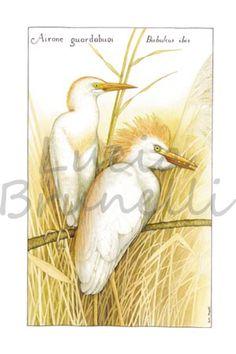 Airone guardabuoi, Bubulcus ibis, un airone facilmente avvistabile nella campagna della Maremma toscana.