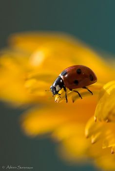 When we see a ladybug - it's only one aspect of the beetle's lifecycle, the culmination of all growth. The beetle is the finished product. The ladybug speaks of going through a number of transitions in the beginning because the crawling larvae have to molt four times before reaching the pupae stage.The larvae are little stars to farmers as they eat parasites.Even though we may not be complete, we are well underway in our development and we can be of great service along the way.