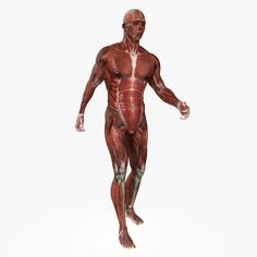 This anatomy is available for purchase at Turbosquid, click the image for the product link. 3d Anatomy, Gross Anatomy, Human Anatomy, Muscular System, System Model, Statue, Link, Image, Muscle Tissue