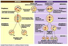 Diagram of Mitosis and Meiosis Mitosis, Biology, Meiosis
