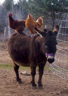 Not sure why chickens like to sit on the back of horses, or Donkeys in this case.our neighbor had chickens and they came here to stay. Farm Animals, Animals And Pets, Funny Animals, Cute Animals, Zebras, Beautiful Creatures, Animals Beautiful, Gallus Gallus Domesticus, Mini Donkey