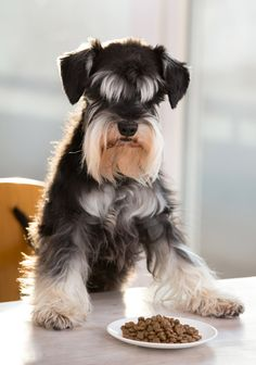 schnauzer eating food with protein - best dog food for schnauzers Miniature Schnauzer Puppies, Giant Schnauzer, Schnauzer Puppy, Schnauzers, Beagle Dog, Standard Schnauzer, Wet Dog Food, Pet Food, Small Dog Breeds