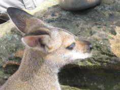 Look at the eyelashes on this little joey in Australia! (Kangaroo!) We book travel!  http://www.getawaycruiseplanner.com