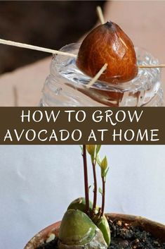 Save money on avocados. Here's how to grow a avocado tree in a small pot at home - STOP buying avocados, they are expensive… but growing them at home is cheap! Frugal way to grow avocados #growavocados #gardening #indoorgardening