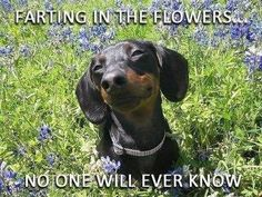 Dachshund in a field of flowers. Cute Puppies, Cute Dogs, Dogs And Puppies, Funny Dogs, Funny Animals, Cute Animals, I Love Dogs, Puppy Love, Happy Puppy