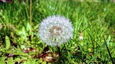 Lumia 920: Gărgărițe, păpădii și fete frumoase Dandelion, Autumn, Flowers, Plants, Fall Season, Dandelions, Fall, Plant, Taraxacum Officinale