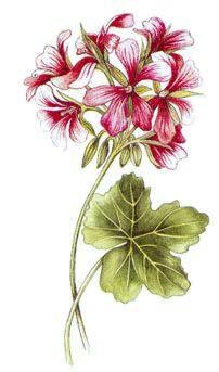 Operagastro > Ricette coi fiori: Crescenza al geranio.