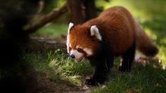 panda vermelho, animais selvagens, grama, papel de parede - HD ...