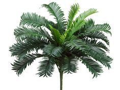 Image result for fan palm leaves
