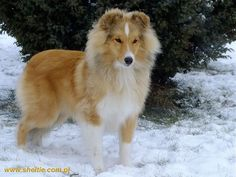 """Lovesome UNIQUE GOLD ROSE """"Miley"""" - 7 mths. (LITTLE YTSUD of Queensland x Int.Ch.Multi Ch, Multi J.Ch. Lovesome KISS FORM A ROSE)"""