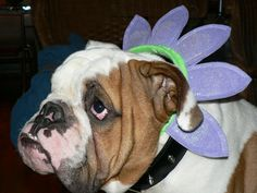 Frankie   Dats not nice to put Fankie in a flower head band!