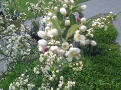 Japanin marjaomenapuun tuotteliain sato on kukat.