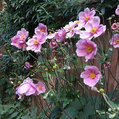 Permaculture, Anemone Du Japon, Style Anglais, Anemones, Place, Perennial Plant, Shrub, Romantic Backyard, Vintage Romance