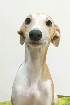 Like this smile Pet Dogs, Dogs And Puppies, Dog Cat, Animals And Pets, Funny Animals, Cute Animals, Beautiful Dogs, Animals Beautiful, Whippet Puppies