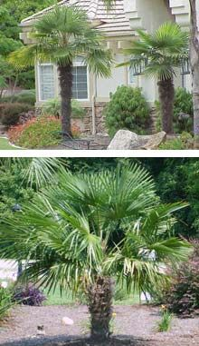 Windmill Palm - slowly but surely growing in the northeast corner of backyard - cold hardy and drought tolerant.  Mine is very short but quite lovely.