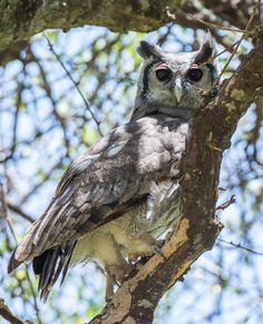 Verreaux's (Giant) eagle-owl - Verreaux's (Giant) eagle-owl. Tarangire NP. Tanzania