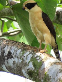 Laughing falcon/Guaco (Herpetotheres cachinnans)