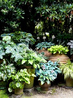 "More foliage love! Podophyllum 'Spotty Dotty' (""Ridiculous name, but a very good plant,"" says Jeremy), Hosta 'Hadspen Blue', Hosta 'Golden Tiara', Hosta 'Frances Williams' and Haknoechloa aureola (golden Japanese temple grass). Photo – Caitlin Mills for The Design Files."