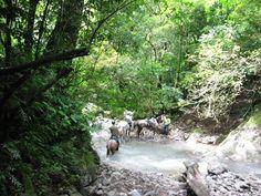 Crossing rivers on the horseback riding tour #costarica | monteverdetours.com