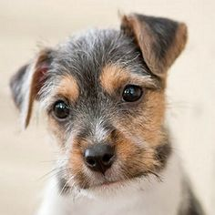 Cute Little Baby Wire Haired Fox Terrier Puppy - Just Look at that Face!