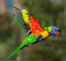Image result for rainbow lorikeet flying