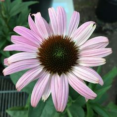 Blush pink form of 'Prairie Splendor Deep Rose' echinacea.