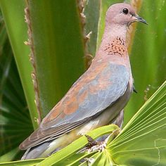 999 Unable to process request at this time -- error 999 Pretty Birds, Beautiful Birds, South African Birds, Dove Pigeon, Kruger National Park, All Nature, All Birds, Bird Pictures, Colorful Birds