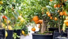If you want citrus trees, you should first arm yourself with patience. Citrus trees will not overwhe Potted Fruit Trees, Growing Fruit Trees, Citrus Trees, Citrus Fruits, Orange Trees, Orange Fruit, Fruit Plants, Edible Plants, Edible Garden