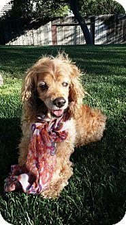Special Needs! Senior-Cocker Spaniel Dog for adoption in Santa Barbara, California - Maddie is 10-12yrs.old & blind.