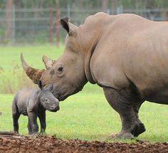 Baby White Rhino at the Australia Zoo