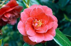 Camellia japonica 'Adolphe Audusson' - March April May Balcony Garden, Garden Plants, Plants That Like Shade, Camellia Japonica, Shade Tolerant Plants, Garden Design Plans, Variegated Plants, Garden Types, Garden Inspiration