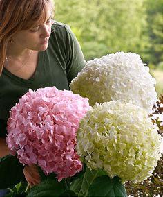 hydrangea arborescens annabelle floral power pinterest. Black Bedroom Furniture Sets. Home Design Ideas