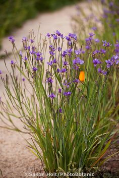 Blue-eyed Grass (Sisyrinchium idahoense bellum) flowering in Southern California, drought tolerant native plant garden