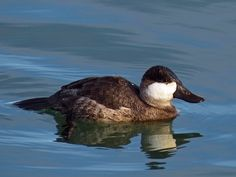 Duck bird | The male Ruddy Duck in a winter coat was photographed behind the ...