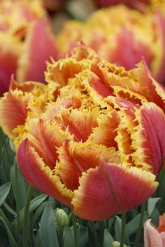 Fringed group tulip 'Gold Dust'. Photo by Jason Ingram.
