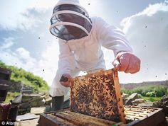Signals from mobile phones could be partly to blame for the mysterious deaths of honeybees, new research shows.    In the first experiment of its kind, a bee expert placed a mobile phone underneath a hive and then carefully monitored the reaction of the workers.    The bees were able to tell when the handsets were making and receiving calls, and responded by making the high pitched squeaks that usually signal the start of swarming.    Read more…