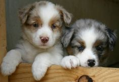 Red and blue merle Australian Shepherd puppies - Heart of Gold Aussies