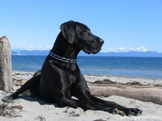 Stunning great dane! ♥ Pet Photography | Portraits | Puppy | Dog | Beach Photo Session