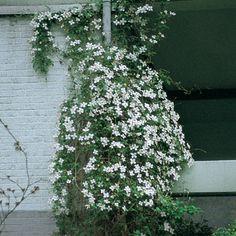Clematis montana Alexander Blütengröße cm Ø  5-6 Blütezeit Monat  5 Wuchshöhe cm  800-1200 Wuchsbreite cm  200-350 Rückschnitt  1 Gefäße   --- Standort     O,S,W,N Winterhärte  ++ Gesundheit   +++ Duft   ++ Tipp Vanilleduft