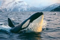 The Ultimate Bucket List: Snorkeling With Orcas In Norway. Definitely want to do this!!