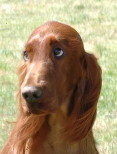 Irish Setter--look at that sweet expression.....it makes me want to give him big hugs!!!