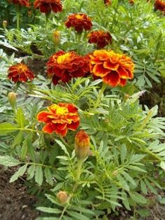 Tagetes essential oil can be useful as a natural insecticide in the garden. It can also help to heal skin infections from wounds and cuts. Germination, Plants, Balcony Plants, Planting Flowers, Natural Insecticide, Garden Plants, All Flowers, Seeds, Marigold