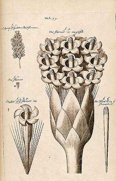 Nehemiah Grew, 1680 book The Anatomy of Plants