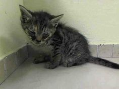 SAFE! TO BE DESTROYED 6/18/14 ** Second chance for Lycah and Lemmons! BABY ALERT! ONLY 6 WEEKS OLD! Manhattan Center  My name is LEMMONS. My Animal ID # is A1003029. I am a female torbie and orange domestic sh mix. The shelter thinks I am about 6 WEEKS old.  I came in the shelter as a STRAY on 06/12/2014 from NY 11213. I came in with Group/Litter #K14-181273.