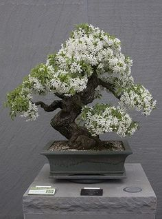 Isn't this AMAZING? The ancient Japanese art of Bonsai creates a miniature version of a fully grown tree through careful potting, pruning and training. Even if you're not zen enough to labour over your own Bonsai,. Indoor Bonsai, Bonsai Plants, Bonsai Garden, Bonsai Trees, Bonsai Flowers, Bonsai Pruning, Bonsai Forest, Tree Garden, Succulents Garden