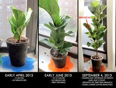Good post on how to get your Fiddle Leaf Fig to branch - >> joeandcheryl.com <<